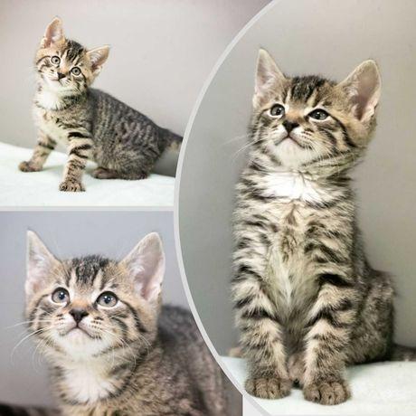 Хорошенький тигровый полосатый котенок, кот, котик, 3,5 мес