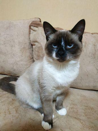 Сиамский котик подросток