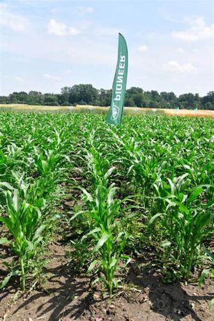 Ziarna kukurydzy P9911 Z:300 K:320