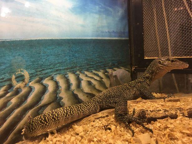 Крокодиловый варан - малыш самой крупной ящерицы