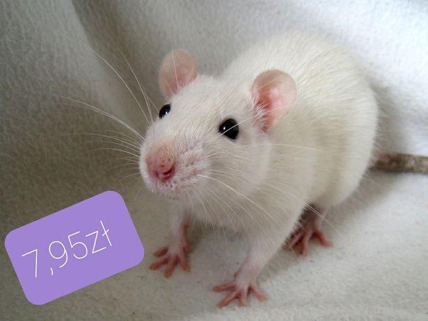 Myszka, mysz biała, mysz laboratoryjna