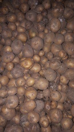 Ziemniak po przebraniu paszowe