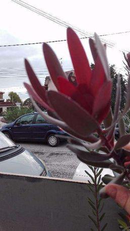 Protea Leucadendron com +/- 25 cms