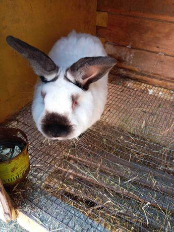Продам кролика-самца Калифорнийской  породы