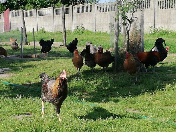 Jajka wiejskie/swojskie od kur zielononòżek I niosek z wolnego wybiegu