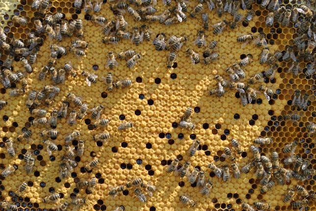 Rodziny pszczele przezimowane 2021