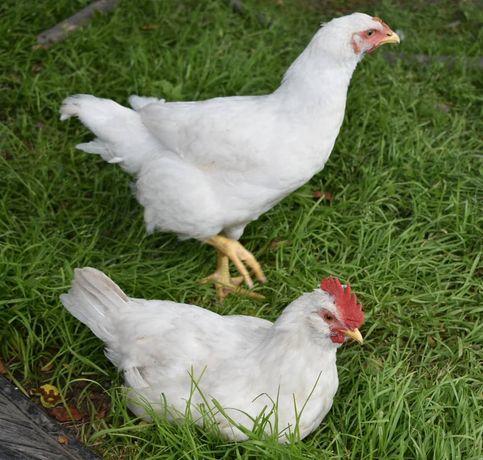 Бройлер Росс-708, Кобб-500 так же есть другие яйца в наличие