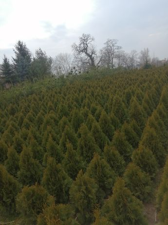 Drzewka i Tuje Gruntowe - Szmaragd- Brabant i inne (Cisy itp)