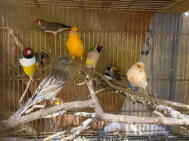 Пернаті красені - співочі птахи