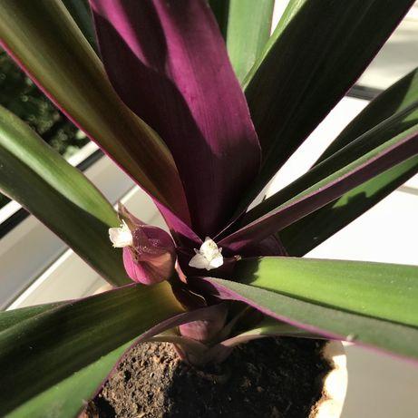Традесканция цветущая (диаметр 50 см)