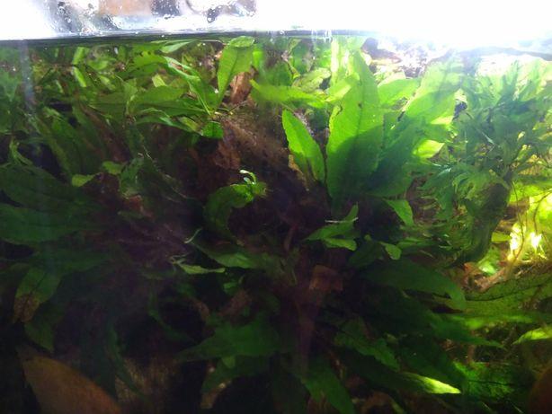 Микросорум аквариумное растение