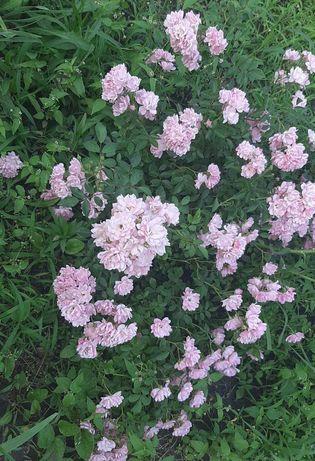 Продам саженцы гортензий, роз почвопокровных, жасмин обычный, пушистый