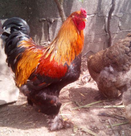 Brahma Perdiz Dourado Ovos para incubação