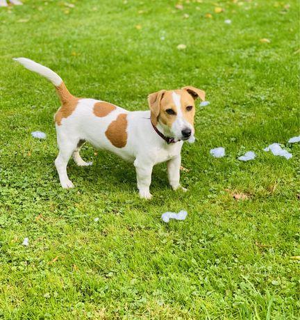 Piesek Jack Russell Terrier 9 mies