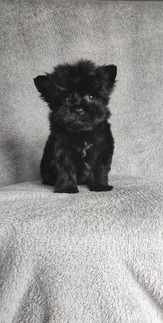 Black Yorkshire Terrier, mini, do 1 kg