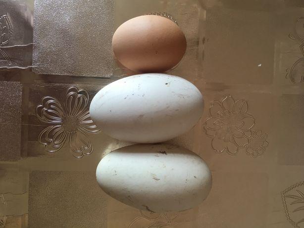 Продам яйца гусиные