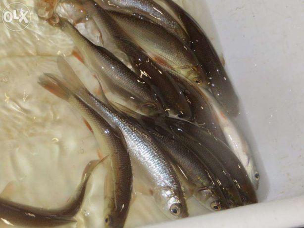 Karp amur tołpyga jaź jesiotr węgorz szczupak sum karaś
