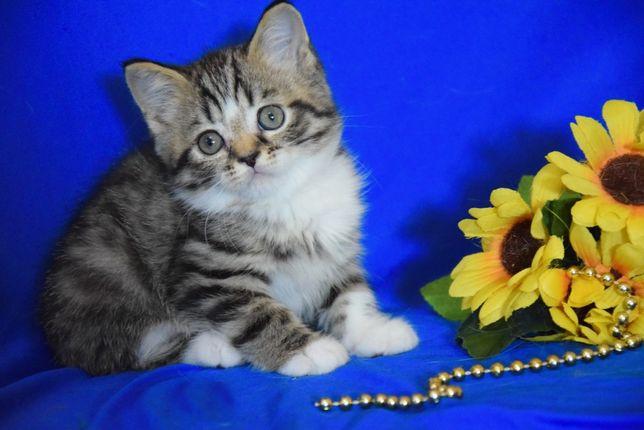 Шотландский тигренок котенок