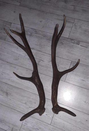 Sprzedam poroże jelenia para