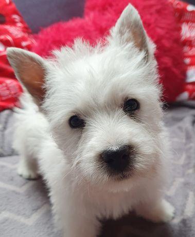 West Highland White Terrier- szczeniaki FCI