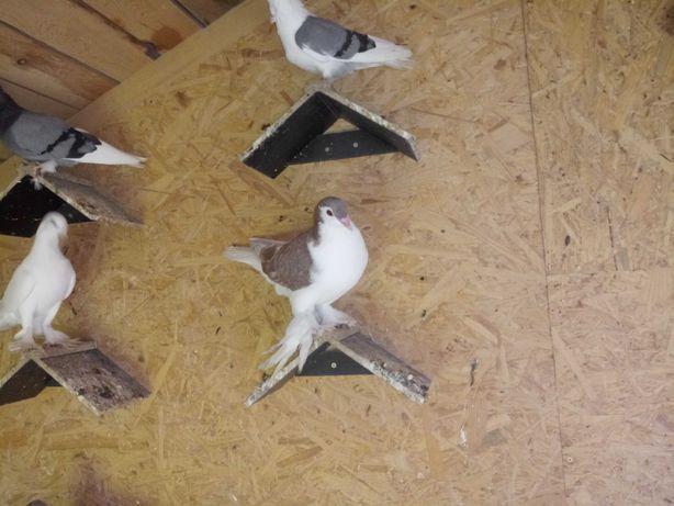 Sprzedam golebie lahore