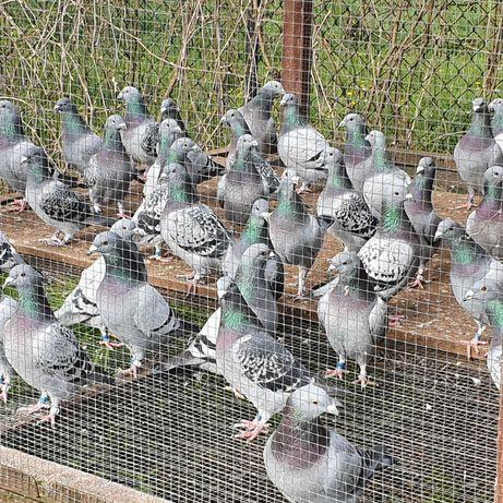 Likwidacja hodowli MŁODE 150 Stare 70 gołebie pocztowe MISTRZ OKREGU