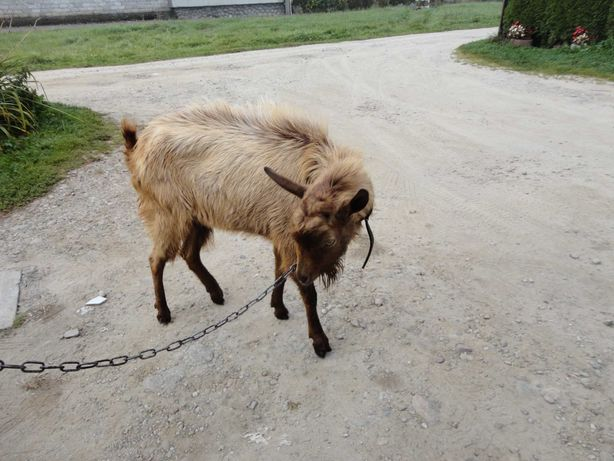koziol ,cap,rudy,duzy,dlugowlosy,zamiana na cap burski,owce
