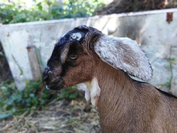 Обезроживание козлят, бескровная кастрация козликов.