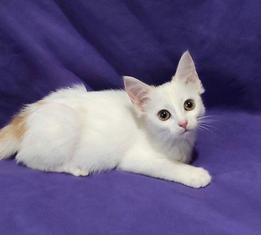 Красивый котёнок, метис ангоры, 2 месяца, девочка, в хорошие руки.