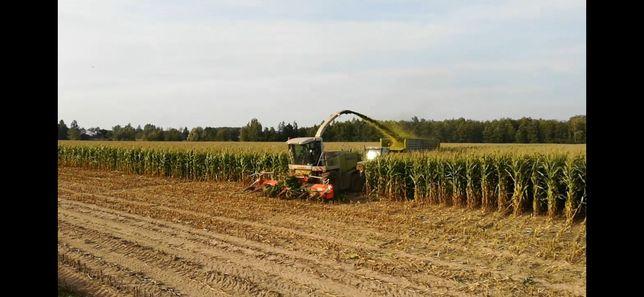 Koszenie kukurydzy na kiszonkę i ziarno Adiagro