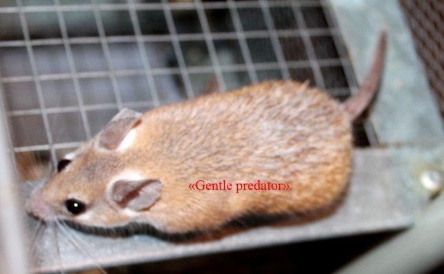 Продам мышат Акомисов. Совсем без запаха.