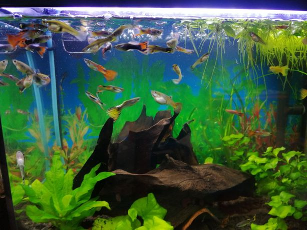 Gupiki Gupik rybki akwariowe