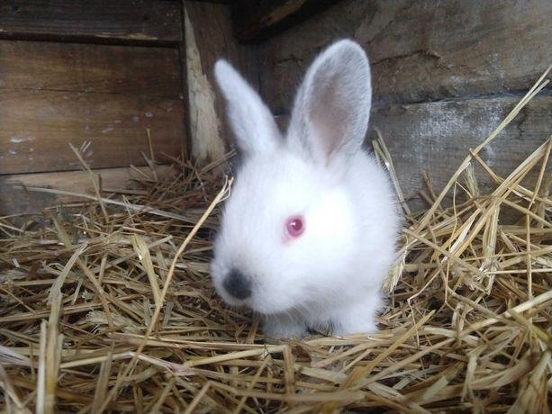 Sprzedam młode króliki kalifornijskie KC