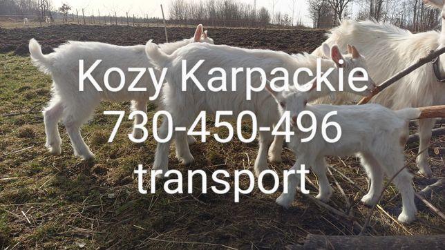Kozy/koziołki Karpackie-Licencja/Dopłaty