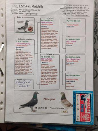 Sprzedam gołębia pocztowego