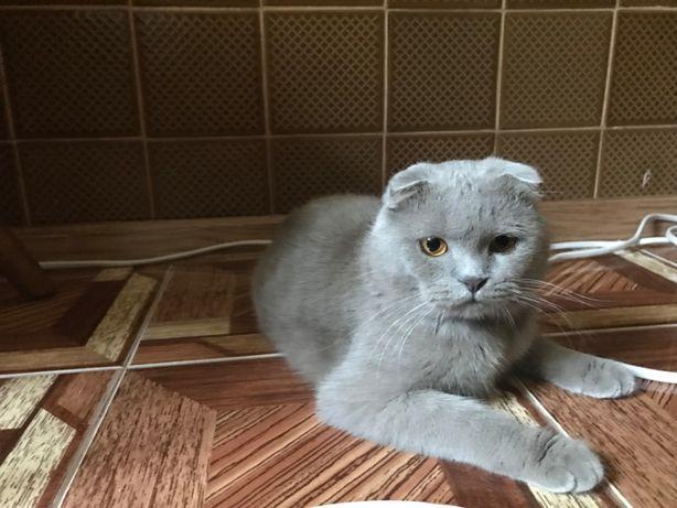 Кот вислоухий для случки