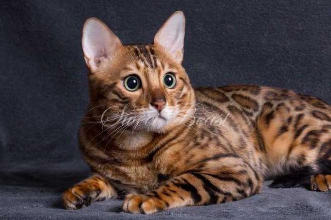 Вязка случка бенгальский кот Чемпион крупная розетка на золоте WCF