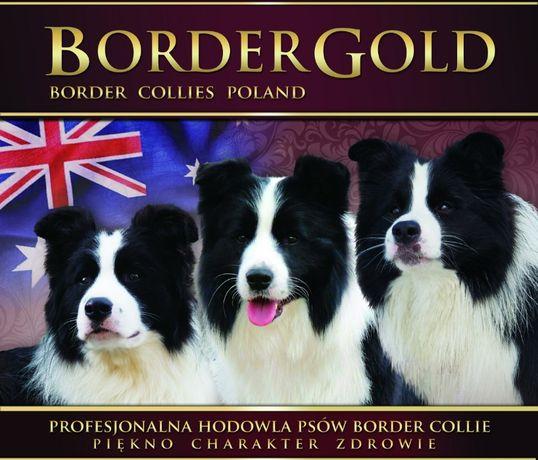 Border Collie-unikalne szczenięta.Jedyny taki miot w Polsce!