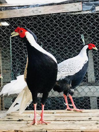 Ovos, galinhas, faisões, pavões