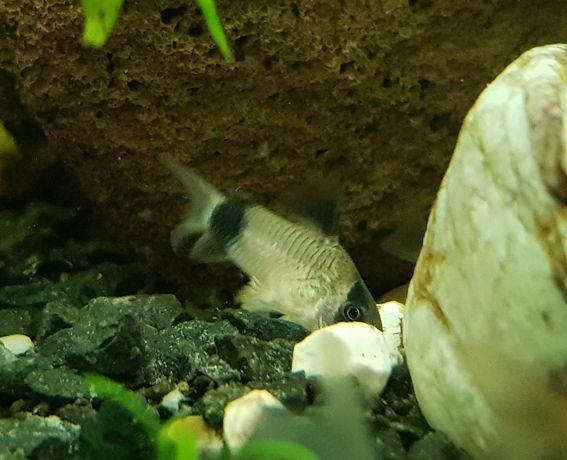 Kirysek panda - rybka strefy przydennej