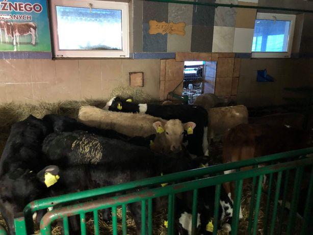 Byczki grube mięsne