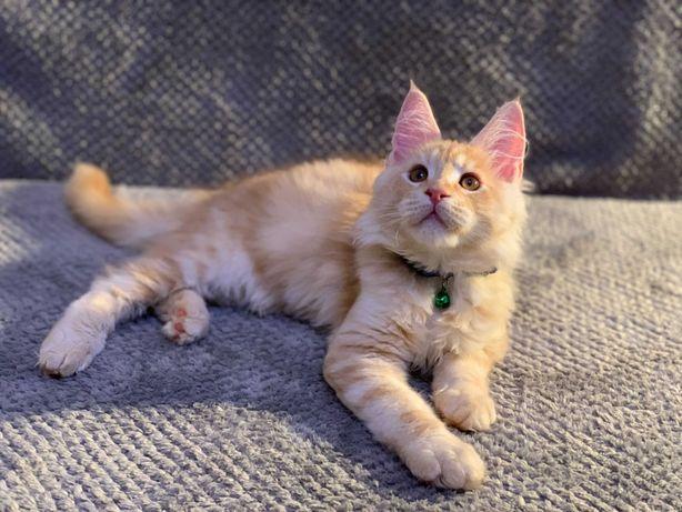 Котёнок МейнКун    .