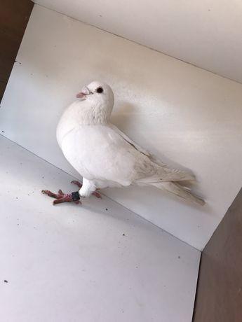 Gołębie Pocztowe - Samczyk CZ 2014