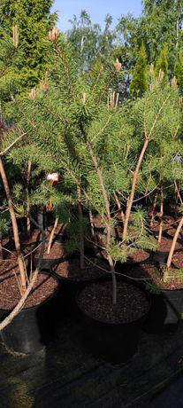 Sosna czarna Pinus nigra