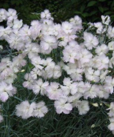 Гвоздика, гвоздичка садовая почвопокровная низкорослая зимостойкая