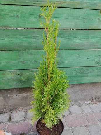 Tuja Smaragd 50-60cm