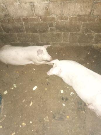 Продам свиней  апрельские