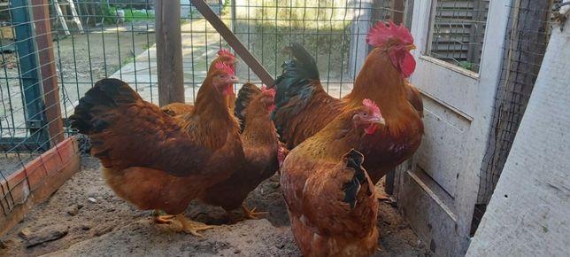 Ovos galados de galinhas gigantes para incubaçao