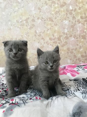 Шотландське висловухе кошеня