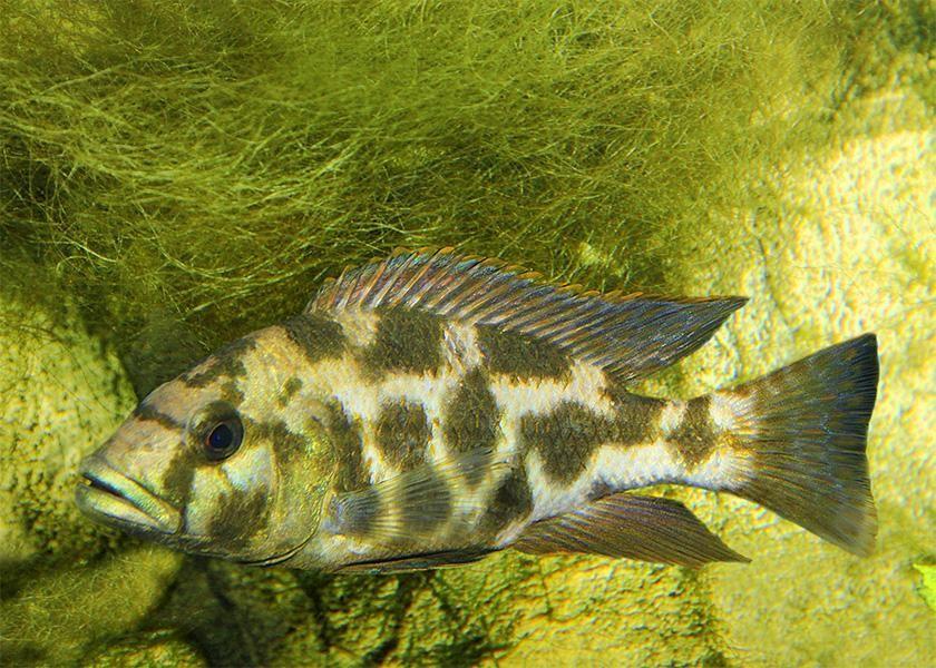 Pyszczak Nimbochromis livingstoni elblag Elbląg - image 1